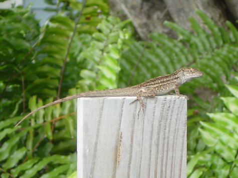 A Florida lizard.